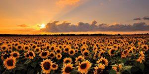 România va importa seminţe de floarea-soarelui din Argentina