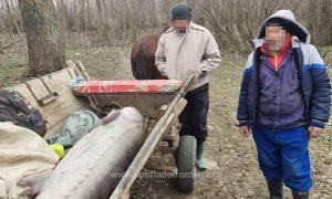 Morun de 2,50  m cărat cu o căruță la Grindu