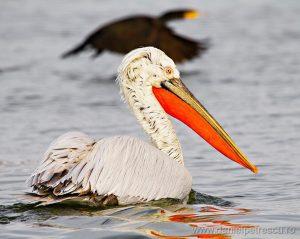 Delta Dunării rămâne paradisul pelicanilor creți!