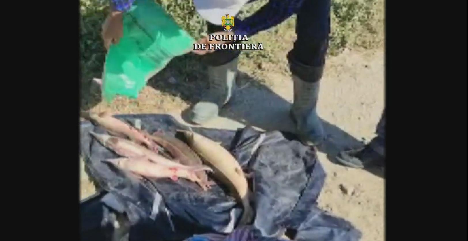 Braconieri tulceni, depistați de polițiști, au aruncat din mașină 5 exemplare de sturion